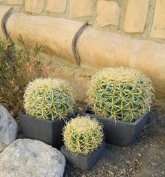 Echinocactus Grusoni in vaso