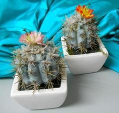 Cactus di Opunzia Invicta H 14 in vaso