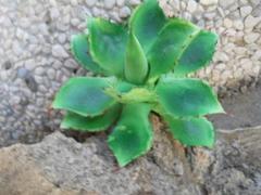 Pianta grassa Faucaria cm. 13