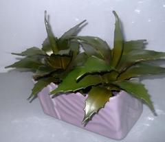 Pianta grassa di Aloe Mitriformis