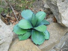 Pianta grassa di Aloe Forex