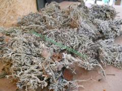 Muschio Cladonia gr. 500 ( Cladonia Moss )  Naturale preservato - Sconti per Fioristi e Aziende