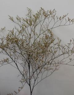 Limonium naturale preservato H 70 conf. gr. 100 - Sconti per Fioristi e Aziende