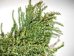 Solidago naturale preservato H 70 conf. gr. 150 - Sconti per Fioristi e Aziende