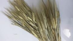 Orzo stabilizzato baffo verde gr. 200 H 70/80 - Sconti per Fioristi e Aziende
