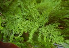 Asparagus plumosus  stabilizzato  mazzo 10 steli