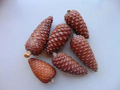Pigne  Picea Kg. 1