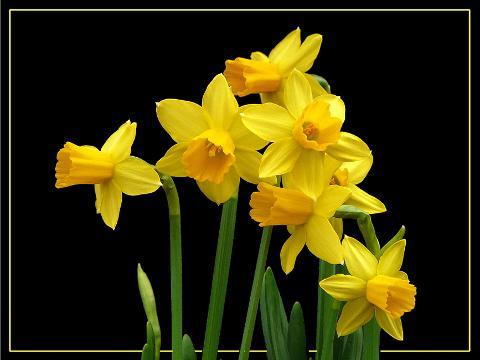 Narciso Lusso H 50 in gomma - Sconti per Fioristi e Aziende