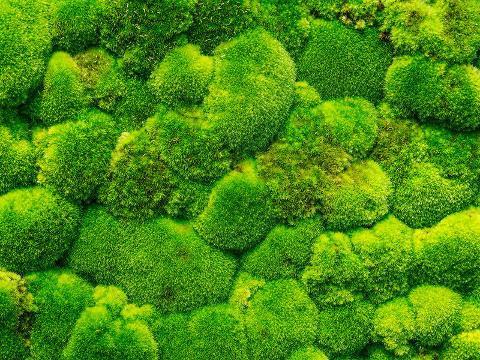 Muschio Ball Moss fresco Leucobrium Glaucum - Sconti per Fioristi e Aziende
