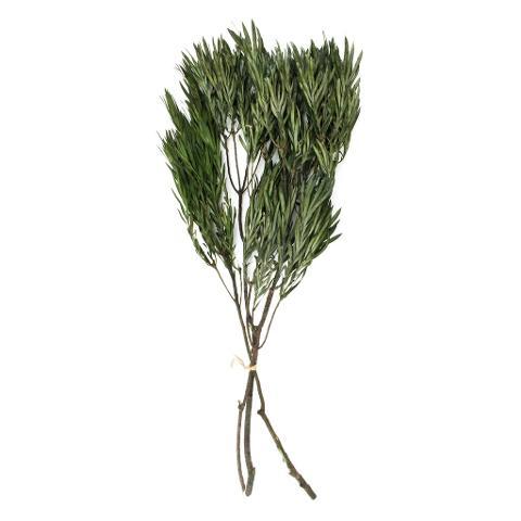 Salignum preservato Verde - Sconti per Fioristi e Aziende
