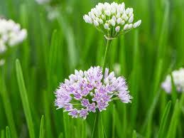 Allium  Plant artifiale