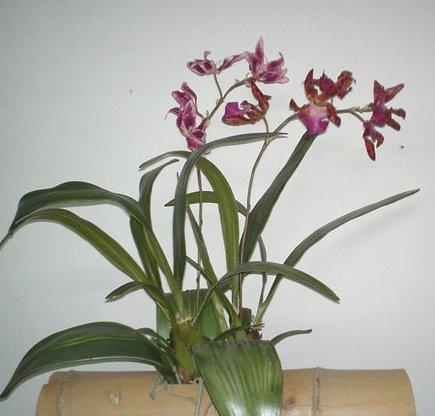 Pianta di Orchidea Oncidium Artificiale H 45 per fioristi e wedding