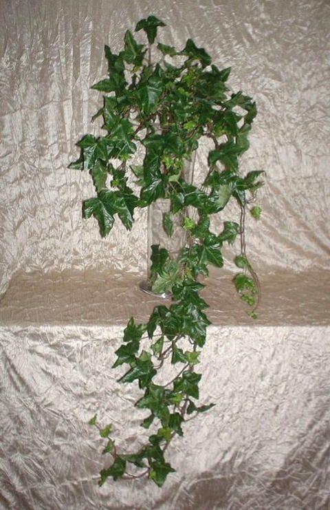 Edera Verde Cadente - cm. 150 con 200 foglie