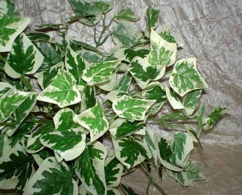 Edera Cadente Variegata  - cm. 130 con 180 foglie