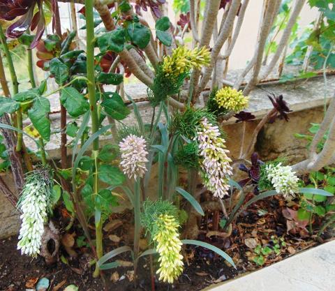 Privet Wild Gommato H 85 per fioristi e wedding