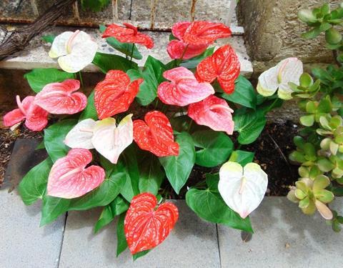Anturium plant x 2 Artificiale in poliestere - Sconti per Fioristi e Aziende