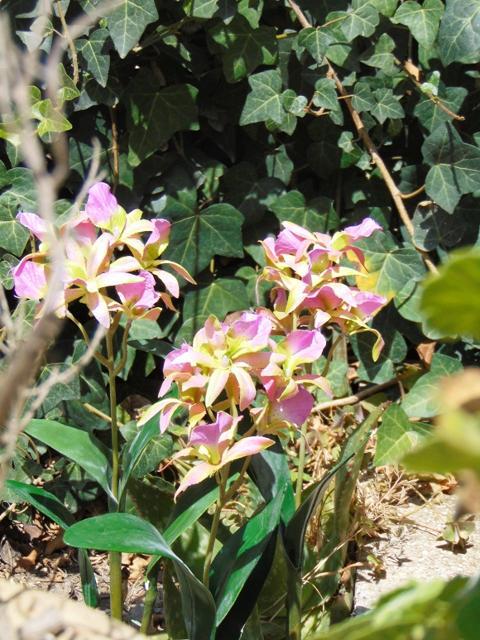 Orchidea Brasso alta cm. 50