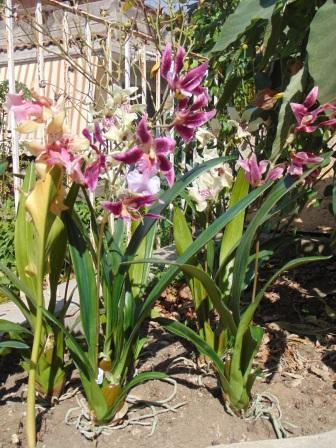 Pianta di Orchidea Cymbidium Artificiale H 50 per fioristi e wedding - San Michele di Ganzaria (Catania)