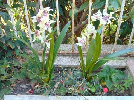 Pianta di Orchidea Cymbidium Artificiale H 50 - Sconti per Fioristi e Aziende