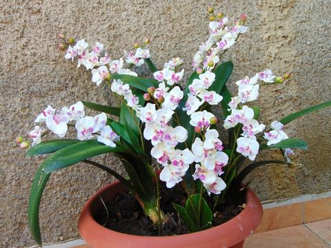 Orchidea artificiale x 2 H 56 per fioristi e wedding