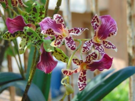 Orchidea Danzante Artificiale H 120 per fioristi e wedding