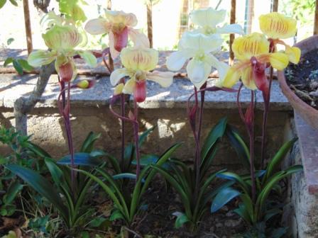 Pianta Orchidea Lady Slipper Flormatic - Sconti per Fioristi e Aziende