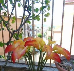 Calla singola in gomma  H 60 per fioristi e wedding