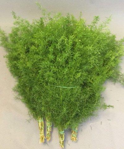 Asparagus Sprengeri  preservato mazzo 10 steli
