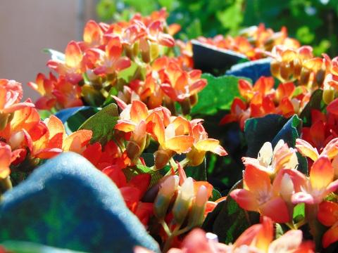 Calanchoe bush x 5 in poliester per fioristi e wedding