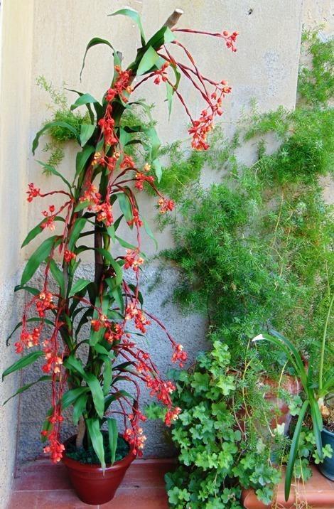 Bilbergia Plant x 7 H 180