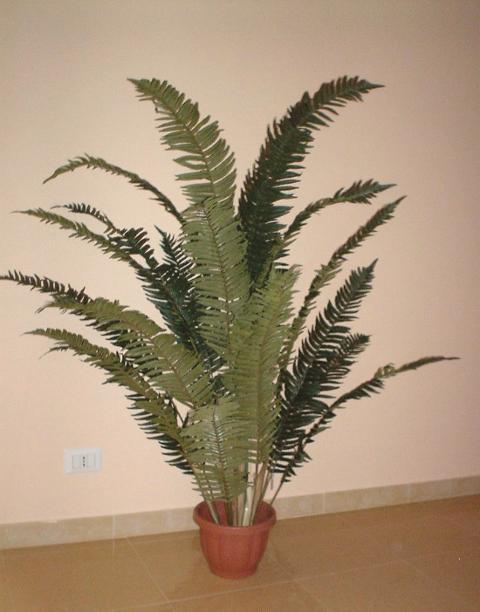Felce Tropicale H 160 in vaso con 16 foglie