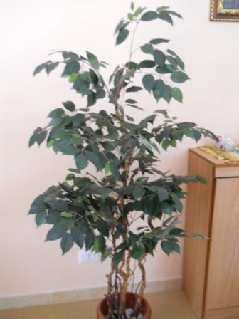 Ficus Twisted H 165  con 1075 foglie verdi