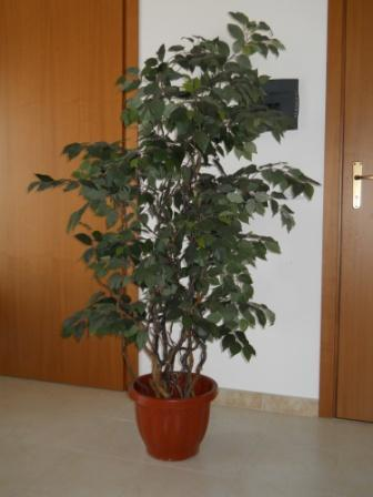 Ficus Twisted H 220  con 2064 foglie verdi