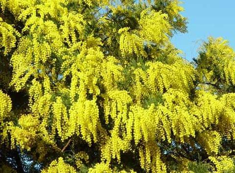 Mimosa Fresca  box da Kg. 3 Acacia Dealbata - Goulois