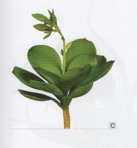 Echeveria con bocciolo cm. 15 in gomma per fioristi e wedding