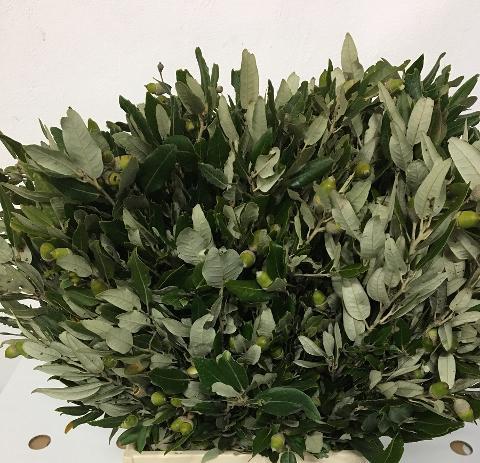 Leccio - Ilex Naturale Stabilizzato da Kg. 1 per fioristi, wedding e Arredatori