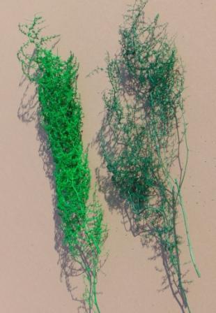 Asparagus Mediterraneo Preservato  H 120 per Fioristi, Wedding, Arredatori