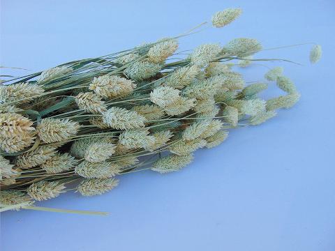 Phalaris Naturale gr. 100  Stabilizzato  - Sconti per Fioristi e Aziende