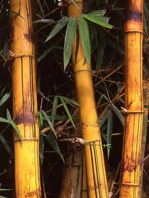 Canne di bamboo naturale  altezze e diametri diversi - Sconti per Fioristi e Aziende