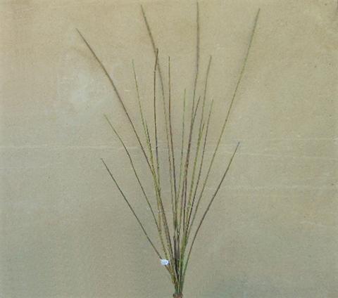 Willow Bunch x 16 H 105 - Sconti per Fioristi e Aziende
