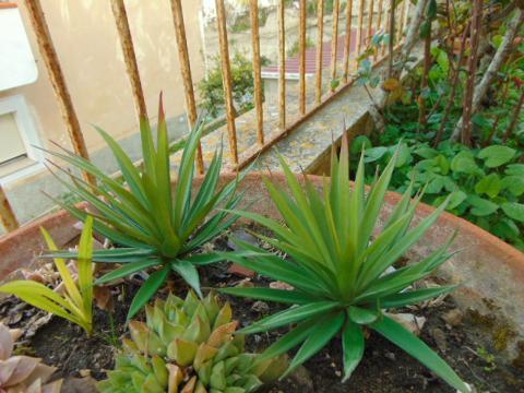 Agave gomma H 20 con 36 foglie - Sconti per Fioristi e Aziende