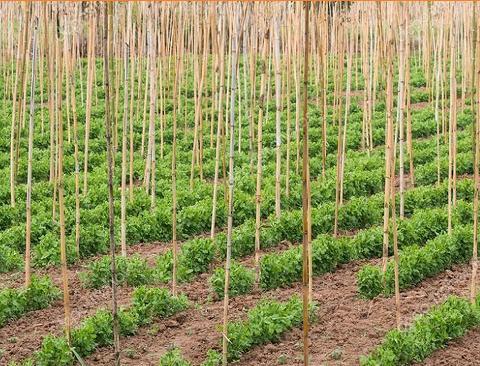 Canna di Bamboo dm 2,8 / 3,2 H 250 - 300 - Sconti per Fioristi e Aziende