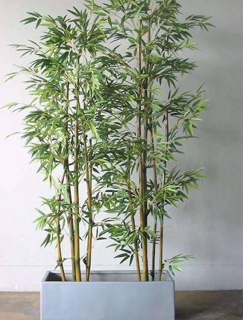 Canna bamboo H 210  con 482 foglie - Sconti per Fioristi e Aziende