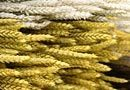Triticum Verde Naturale  Granetto mazzo gr. 200 per fioristi e wedding