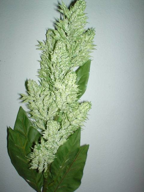 Conifera profumata spray
