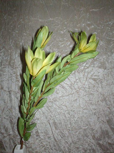 Leucadendron x 3