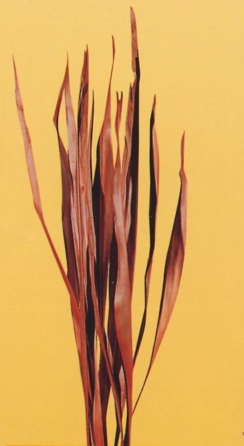 Palm Sun Stabilizzato Naturale H 130 Conf. 10 foglie - Sconti per Fioristi e Aziende