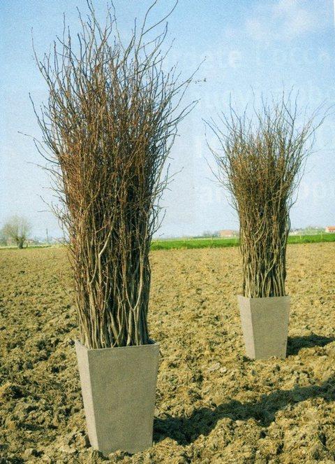 Salix naturale H 160 Mazzo 5 rami - Sconti per Fioristi e Aziende
