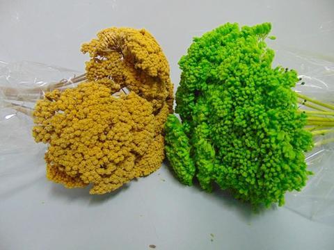Akillea filipendulina x 10 naturale colorata