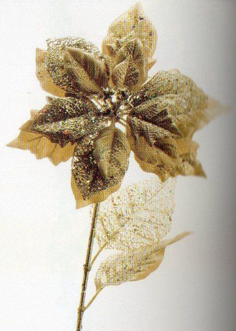 Stella Oro H 72 maculata